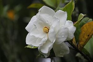Uzgoj gardenije, cenjene ukrasne biljke