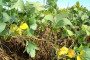 Bh ratari se okreću uzgoju GMO-free soje