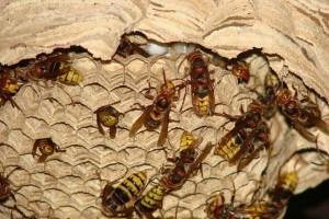 Stršljeni, problem za ljude i pčele - kako ih se riješiti