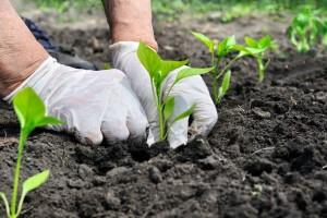 Preporuke za osnovnu i predsjetvenu gnojidbu povrća