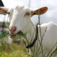 Kako prilagoditi obrok koza s obzirom na godišnje doba, parenje i laktaciju