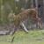 Stigao ris Alojzije! Ljepotan spašava dinarsku populaciju od izumiranja