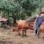 Nenad Planinčić iz Rogatice uzgaja goveda Angus i Limuzin