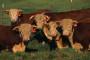 Kako spriječiti toplotni stres goveda?