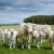 Kako uspešno uzgajati tovna goveda