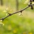Crna pegavost vinove loze - uticaj na prinos i suzbijanje