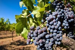 Kako se pripremiti za početak sezone berbe grožđa i proizvodnje vina?