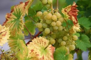 Osnovni principi gnojidbe i kretanja hranjiva u vinovoj lozi i tlu