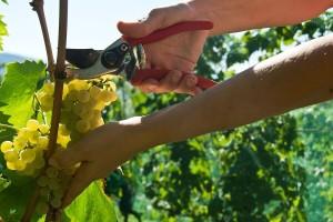 Pratite stanje grožđa, ono je najbolji pokazatelj vremena berbe