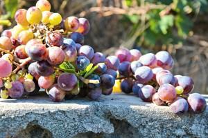 Posjetite radionice: predstavljanje Nacionalnog programa pomoći sektoru vina