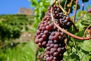 Nacrt Zakona o vinu: Manje administriranja, veća kontrola na terenu?