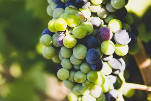 Upozorenje: Sivi grožđani moljac u vinogradima, uočen i jabučni savijač