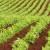 Seju grašak i uljanu repicu: Na žalost stočara - raste potražnja za biljnim proteinima