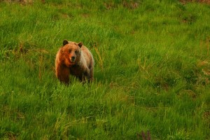 Gladni sanski medvjed uništio pčelinjak sa oko 70 košnica