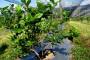 Uzgajanje borovnice - prednosti i izazovi