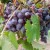 Podbacio rod voća - za grožđe u Šumadiji i Vojvodini još ima nade