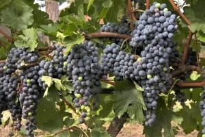 Vinogradari zadovoljni rodom grožđa - očekuje se dobar kvalitet vina