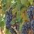 Vinogradarstvo u Valjevu - nešto novo ili tradicionalno?
