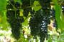 Mikrobio pripravak Thiofer u vinogradarstvu