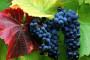 Vinarija Miljas podignula reputaciju konavoskih vina