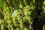 Zadnje zaštite vinograda od biljnih bolesti!