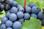 Poljoprivredna zadruga Dingač nije isplatila vinogradarima grožđe