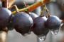 Proizvodnja vina po EU standardima