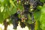 Zaštita vinograda u periodu zatvaranja grozda i u početku mekšanja boba