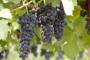 Enologija strategija vinarstva