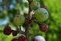 Nova pravila za europska organska vina