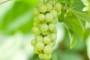Zaštita vinograda nakon cvatnje!