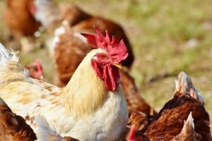 Potpore za unaprjeđenje proizvodnog potencijala u sektoru mesnog govedarstva, uzgoja ovaca, koza i peradi