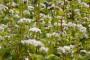Heljda i zob - najprofitabilnije žitarice u Ukrajini?