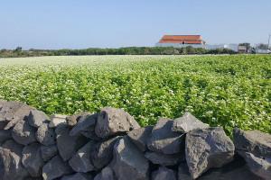 Organski uzgoj heljde