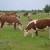 Hereford - govedo koje i vrbove grane pretvara u ukusno meso