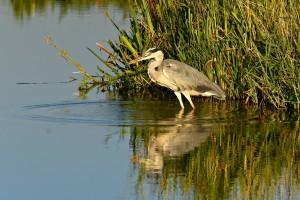 Država daje 20 milijuna kuna za štete od ptica na šaranskim ribnjacima