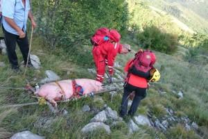 Spasili ranjenog i iznemoglog prasca u nesvakidašnjoj akciji HGSS-a!