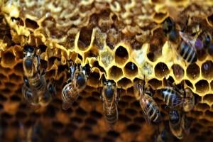 GMO bakterije mogu pomoći pčelama u zaštiti od smrtonosnih virusa?