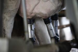 Higijena muže - uslov dobrog kvaliteta mleka