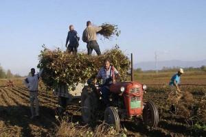 Vinova loza sa Hilandara presađena u Trstenik