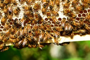 I pčele biraju šta jedu - neće masno!