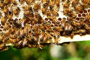 I pčele biraju što jedu - neće masno