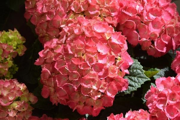 Japanski cvjetni trips stigao s hortenzijama, ugrožava i voće i povrće