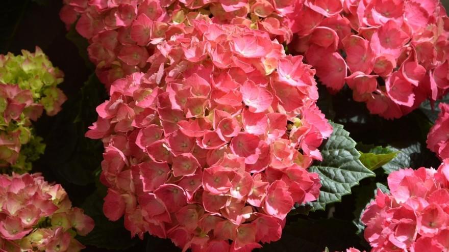 sretan rođendan na japanskom Japanski cvjetni trips stigao s hortenzijama, ugrožava i voće i  sretan rođendan na japanskom