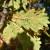 Najezda hrastovih stjenica - udomaćene i na drugim vrstama drveća