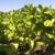 Siguran plasman glavni motiv poljoprivrednika u uzgoju duvana