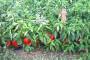 Uticaj ekstremno visokih temperatura na bilje
