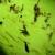 Trešnjina muva ugrožava srednjestasne sorte