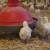 Industrija premium piletine s okusom francuske tradicije