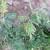 Palež lišća mrkve javlja se poslije kiše